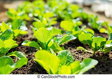 alface, campo, planta