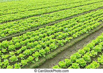 alface, planta, campo