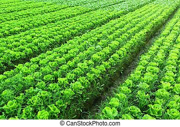 alface, plantado, freshly