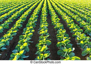 alface, terra cultivada