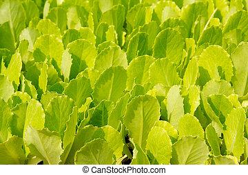 alface, verde, pequeno, brotos, crescendo