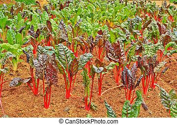 alface, vermelho, solo