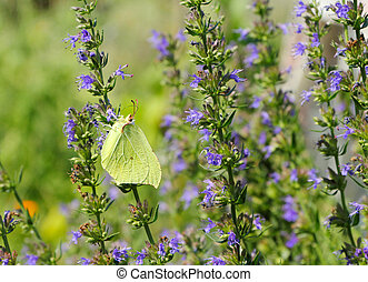 Beautiful alfalfa butterfly (Colias hyale) on blue flowers