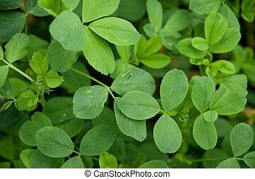 A closeup of some alfalfa leaves