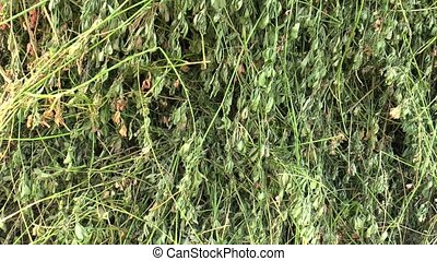 Alfalfa Medicago sativa, it is also dried for hay, used in...