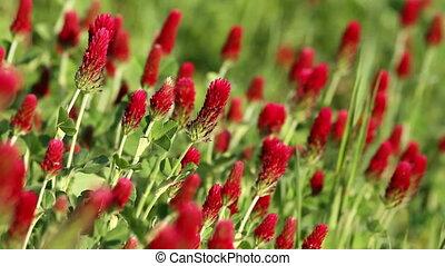 Alfalfa - Beautiful alfalfa flower field