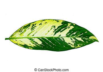 alfiler, hojas, aislar, ornata, raya, plano de fondo, blanco, calathea