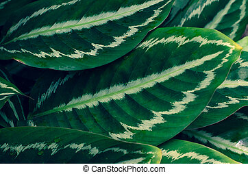 alfiler, ornata, plano de fondo, hojas, azul, calathea, raya