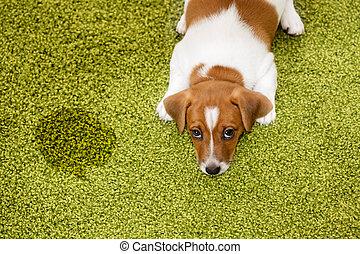 alfombra, mirar, perrito, guilty., russell, terrier, gato, acostado