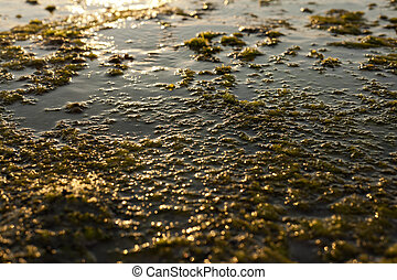 Algae Rock - Wet beach rock covered with seaweed, back lit...