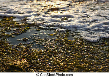Algae Rock & Surf - Wet beach rock covered with seaweed and...