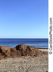 algae seaweed dried on Mediterranean beach