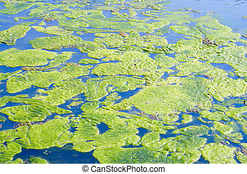 Algae start blooming in a pond during summer months