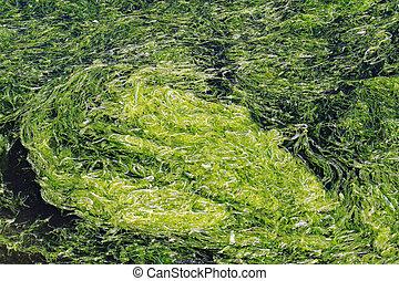 Algal bloom - Rapid accumulation of algal bloom in water