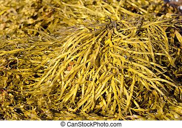 algas marrons, ascophyllum