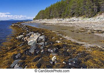 algas marrons, (fucus), ligado, a, costa, de, a, branca, mar, em, maré baixa