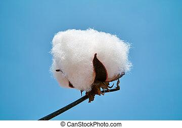 algodão, boll