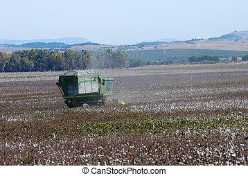 algodão, colheita
