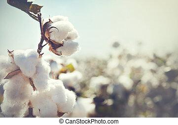 algodão, colheita, paisagem, com, cópia, spa