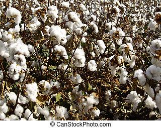 algodão, em, a, cru