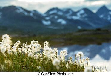 algodão, flores