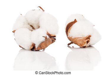 algodão, macio, planta, com, reflexão