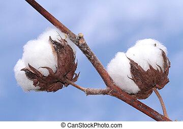 algodão, plant.