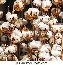 algodão, planta, com, brotos