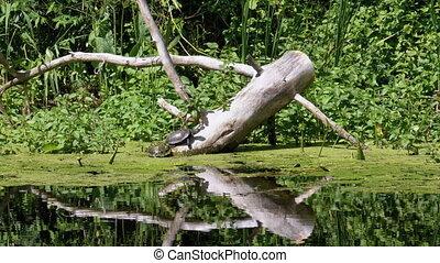algues, rivière, deux, vert, séance, tortues, bûche