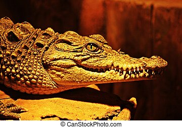 Aligator jaw and eye in closeup with nice teeth