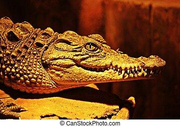 aligator, mandíbula, e, olho, em, closeup, com, dentes agradáveis