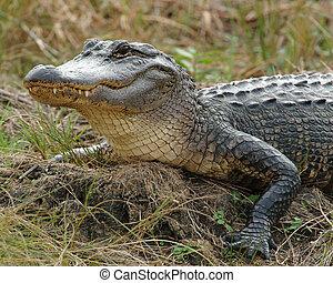 Aligator Sunbathing on bank of river