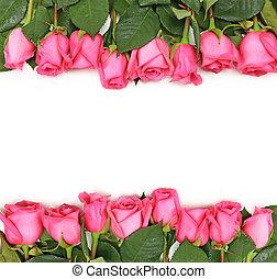aligné, roses roses, blanc