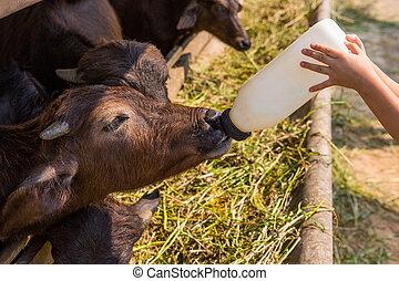 alimentação, búfalo, peito, murrah