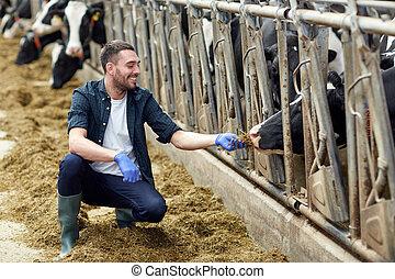 alimentação, fazenda, cowshed, feno, leiteria, vacas, homem
