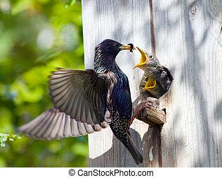alimentação, nestling, seu, starling
