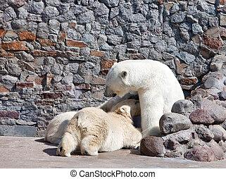 alimenta, oso, recién nacido, she-bear, cachorros, blanco, leche