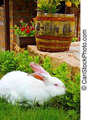 alimentación, albino, jardín, conejo