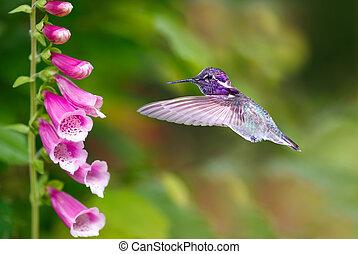 alimentación, colibrí, flores, dedalera, púrpura