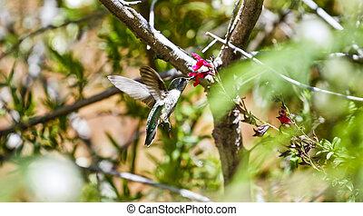 alimentación, colibrí