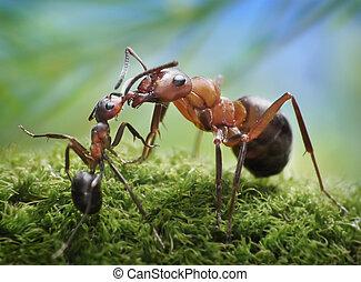 alimentación, formica, hormigas, rufa, chid, cuidado