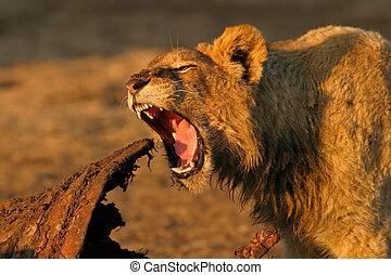 alimentación, león