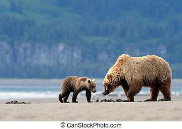 alimentación, Oso pardo, oso, cachorro, madre, abrazaderas