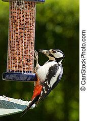 alimentación, pájaro carpintero, manchado, (dendrocopos, feeder., grande, pájaro, jardín, major)