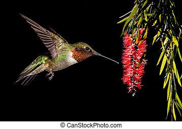 alimentación, ruby-throated, colibrí, flor, bottlebrush
