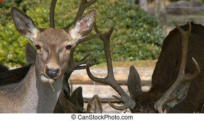alimentation, animal, mammifère, cerf