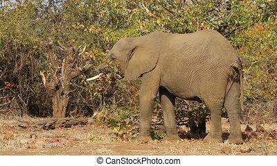 alimentation, elephan, africaine
