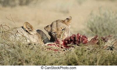 alimentation, lions