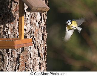 alimentation, mésange, foyer., sélectif, oiseau volant, mouvement, bleu, table., vol, eurasien, concept., barbouillage, caeruleus, cyanistes, nourrisseur