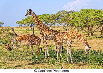 alimentation, naturel, habitat, girafes